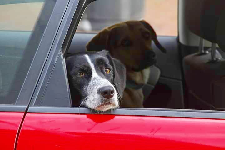 Two dogs in the back seat